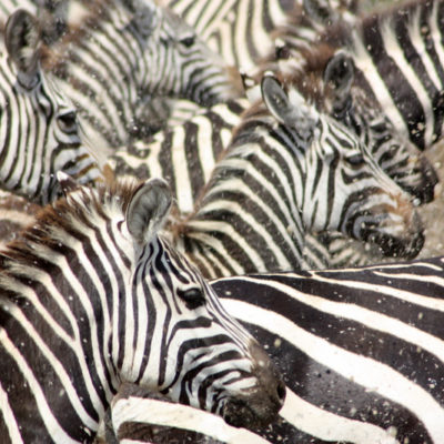 Zebra stampede, Zunnetje Vrouwenpolder, Zeeland